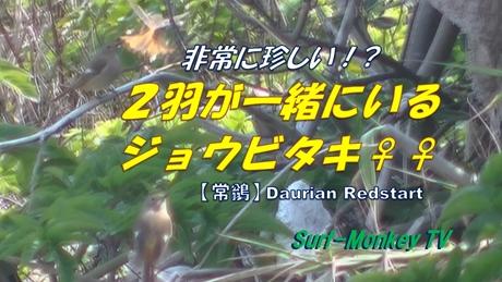 0324ジョウビ♀♀.jpg