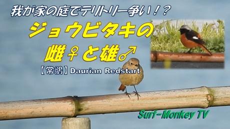 0324ジョウビ♂♀.jpg